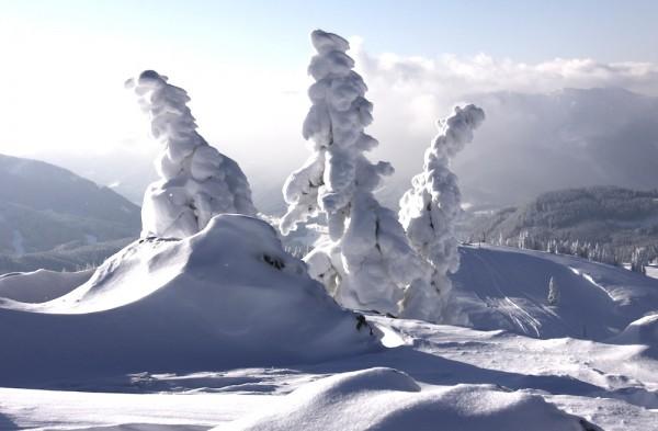 Weihnachtsbäume in der Region Dachstein West
