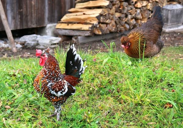 mitten im Dorf finden sich Hühner, Bauerngärten, ...
