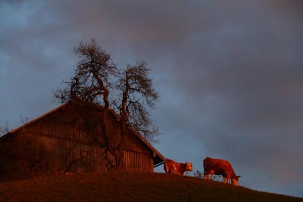 ... selbst die Kühe waren rot!