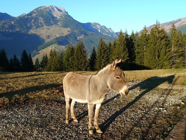 Besuch beim Esel auf der Franzlalm